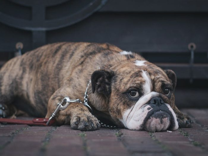 Bulldog Tattoo Designs | Tattooaholic.com